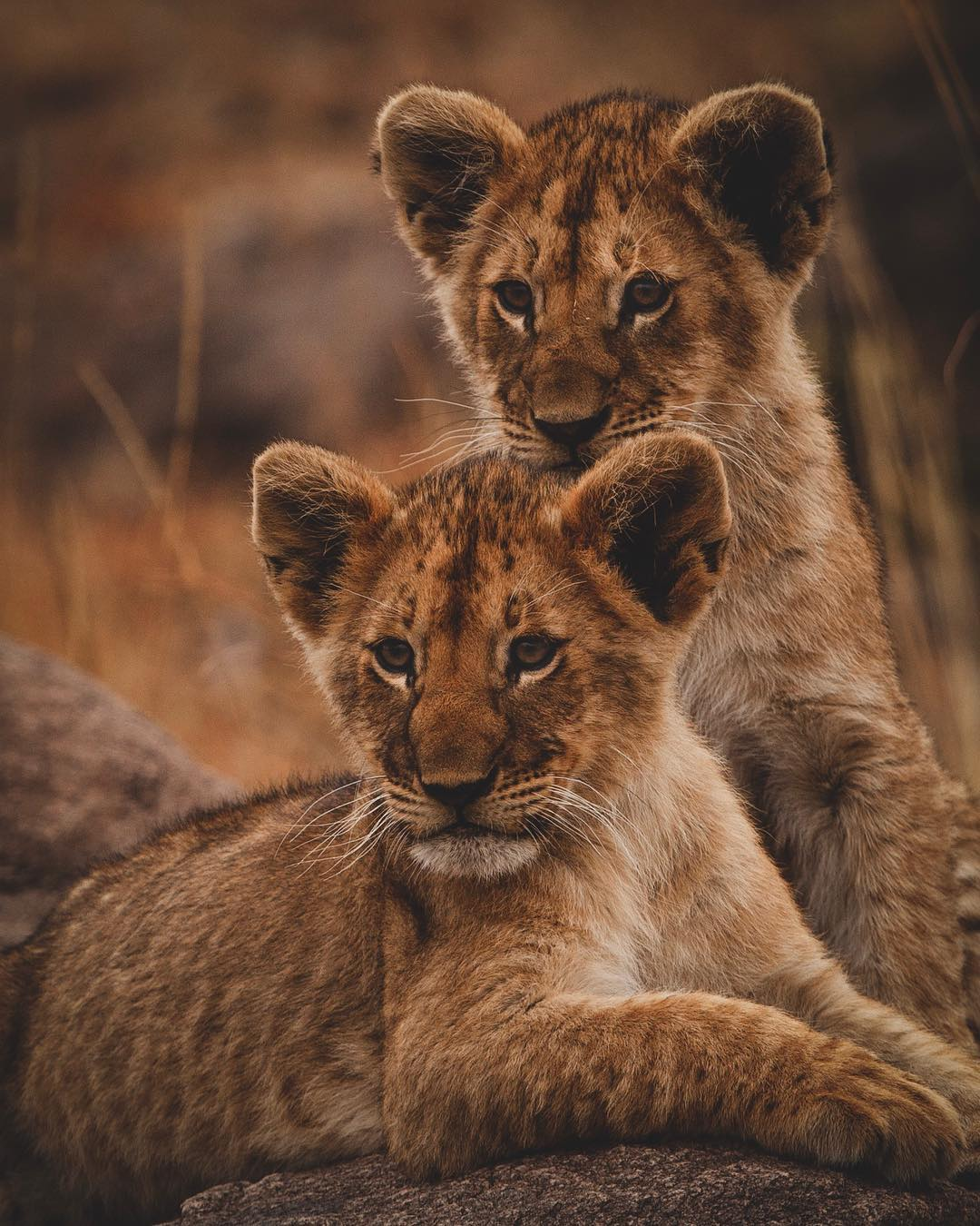 Lion Cubs Wildlife Africa