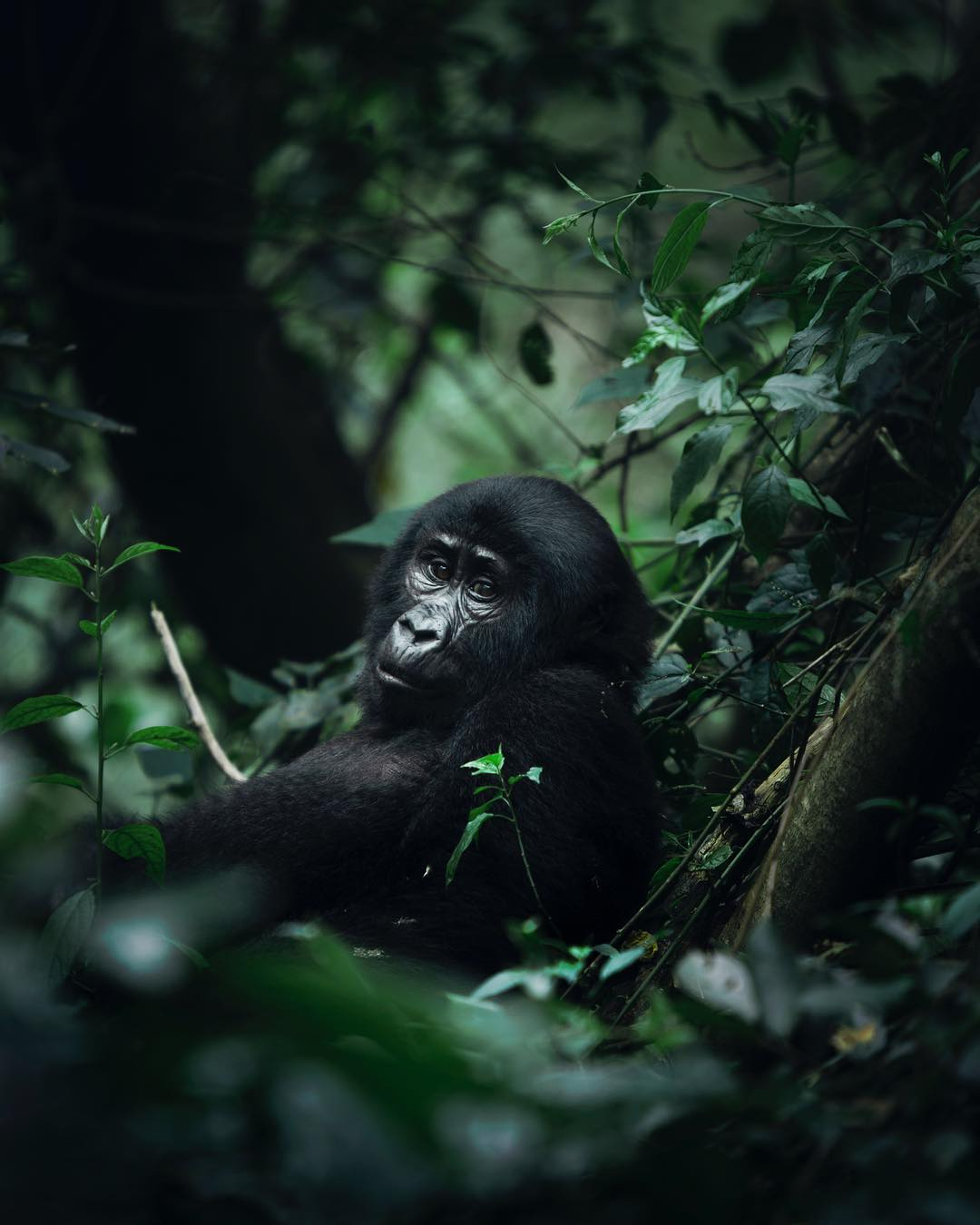 Young Mountain Gorilla Uganda Wildlife Africa