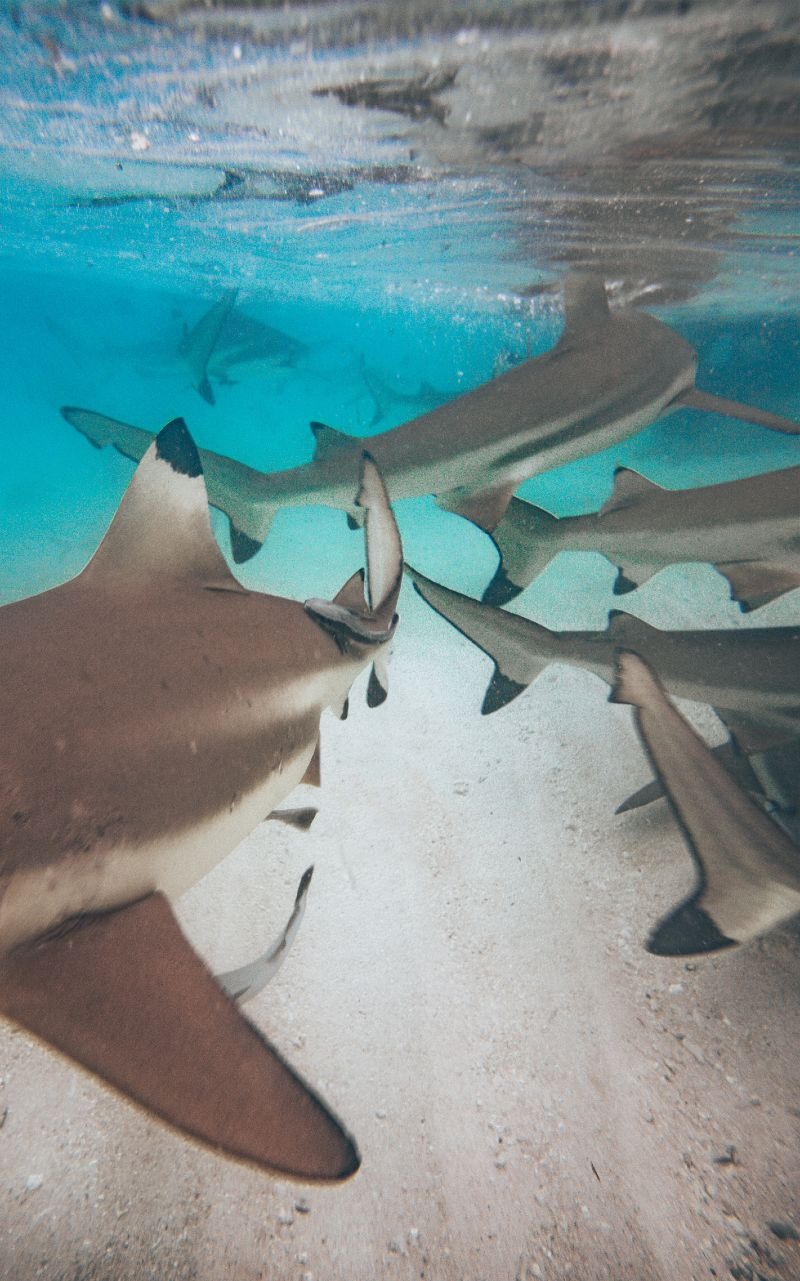Black-tipped Reef Sharks